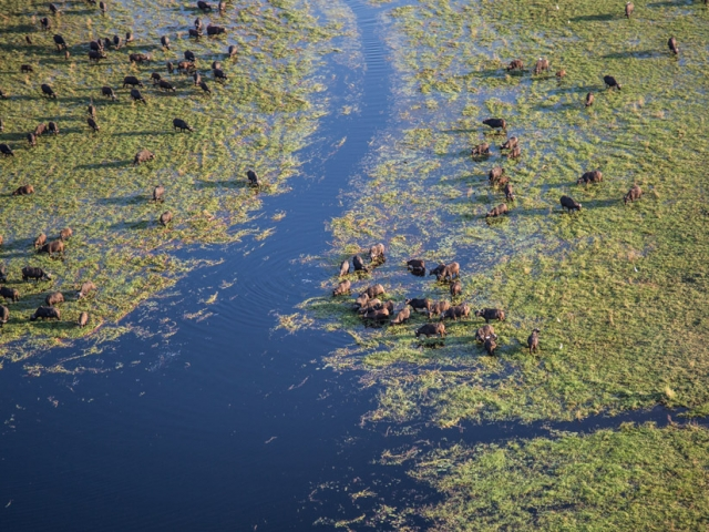 A herd of buffalo feeding in the swamp shallows