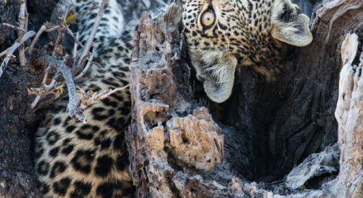 A leopard cub makes itself comfortable in the fork of a broken branch