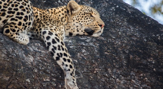 A leopard rests in a Jackalberry tree
