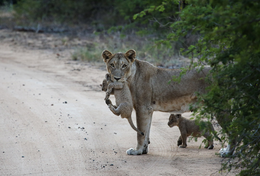 A lioness moves her cubs to a new den site in the Kruger Park - South Africa