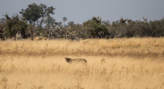 A rare sighting of a cheetah on Chiefs Island