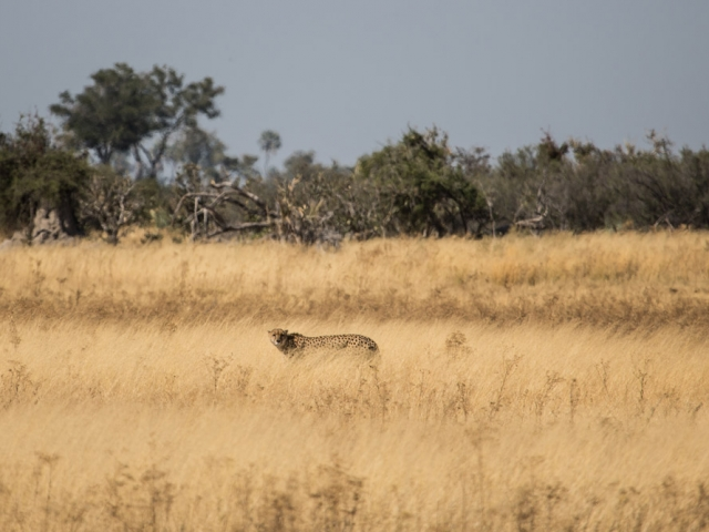 A rare sighting of a cheetah on Chiefs Island