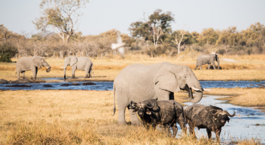 Buffalo and elephants converging at permanent water in the heat of the day