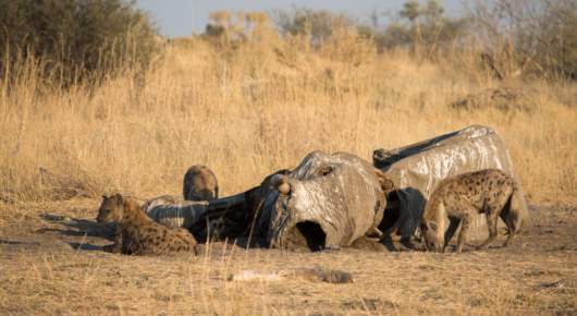Hyena's enjoying an elephant carcass