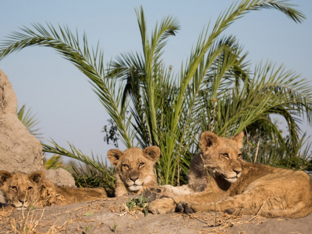 Lion cubs await the pride adults from the comfort of a termite mound