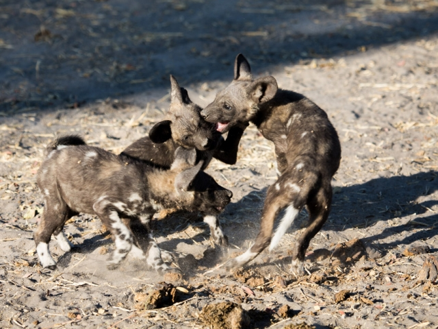 Playing African wild dog pups