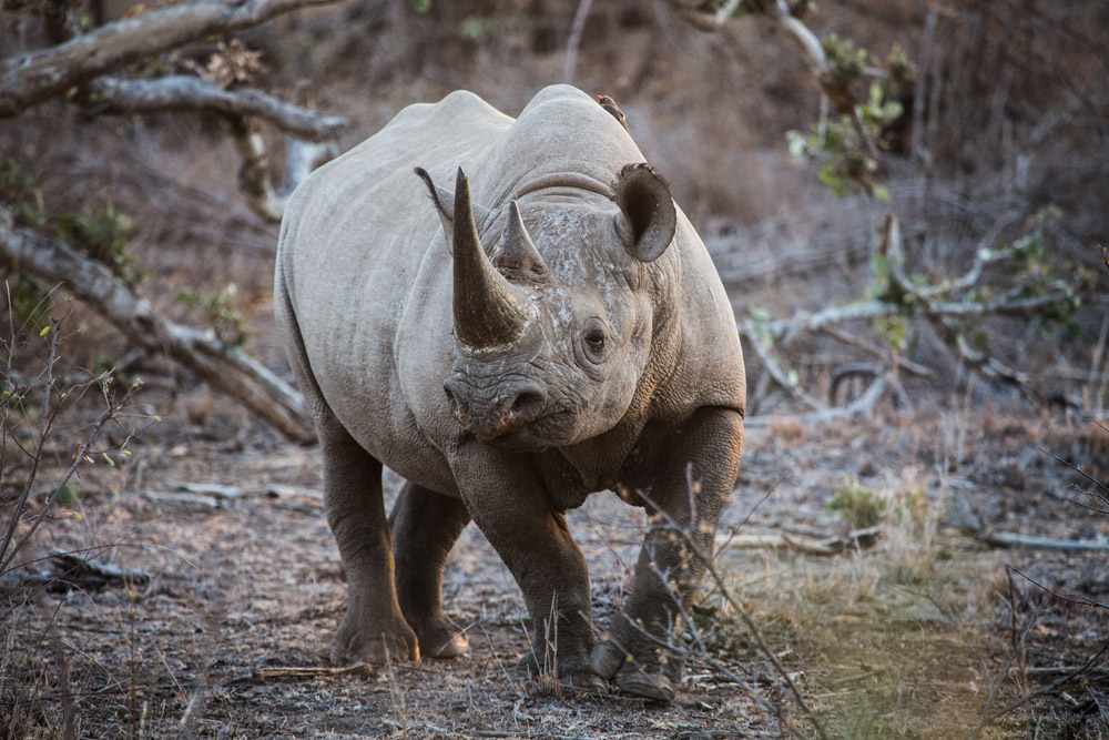 Seeing a black rhino in the Kruger Park is always special - South Africa