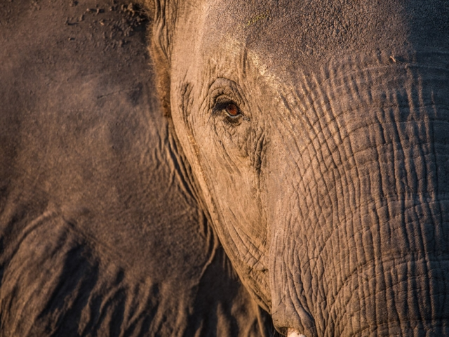 Soft, afternoon light on a confiding elephant