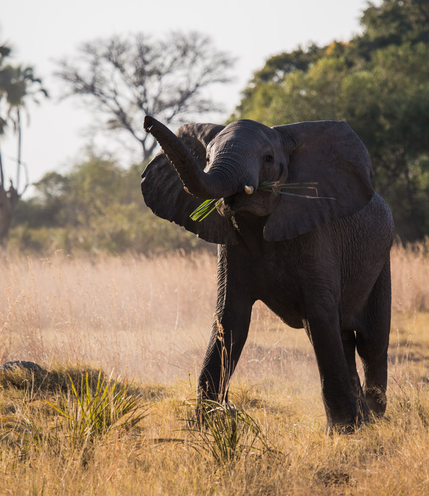 The Okavango Delta has a large elephant population