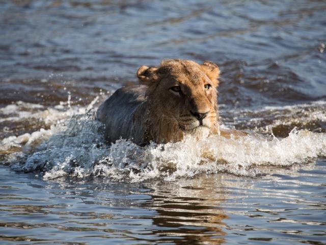 The lion gauntlet