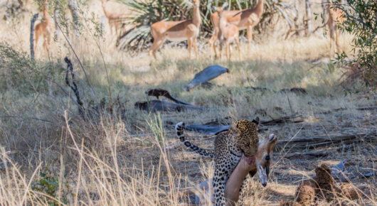 We watched this female leopard ambush and kill an impala