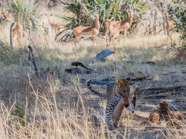 We watched this female leopard ambush and kill an impala