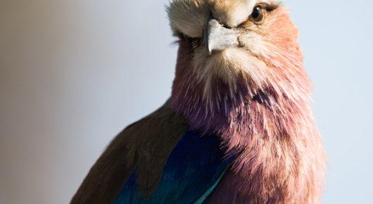 What colour! A lilac breasted roller