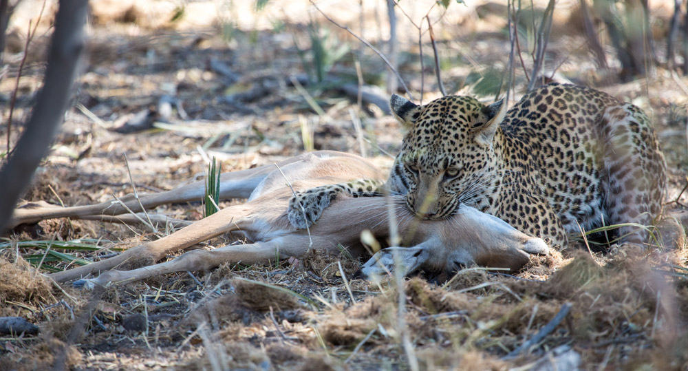 Witnessing a leopard kill is incredibly rare - Botswana