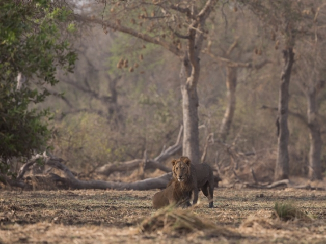 2 male lions – as seen during a walk