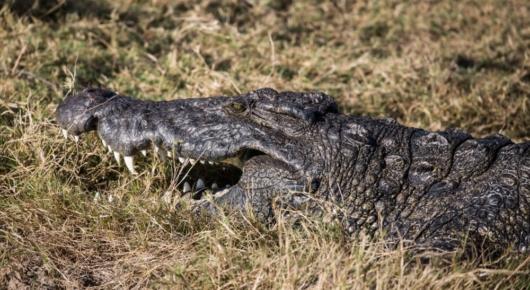 A crocodile warms up in the winter sun
