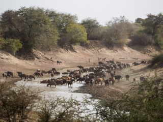 A herd of multicoloured Central African savannah buffalo on the Salamat river