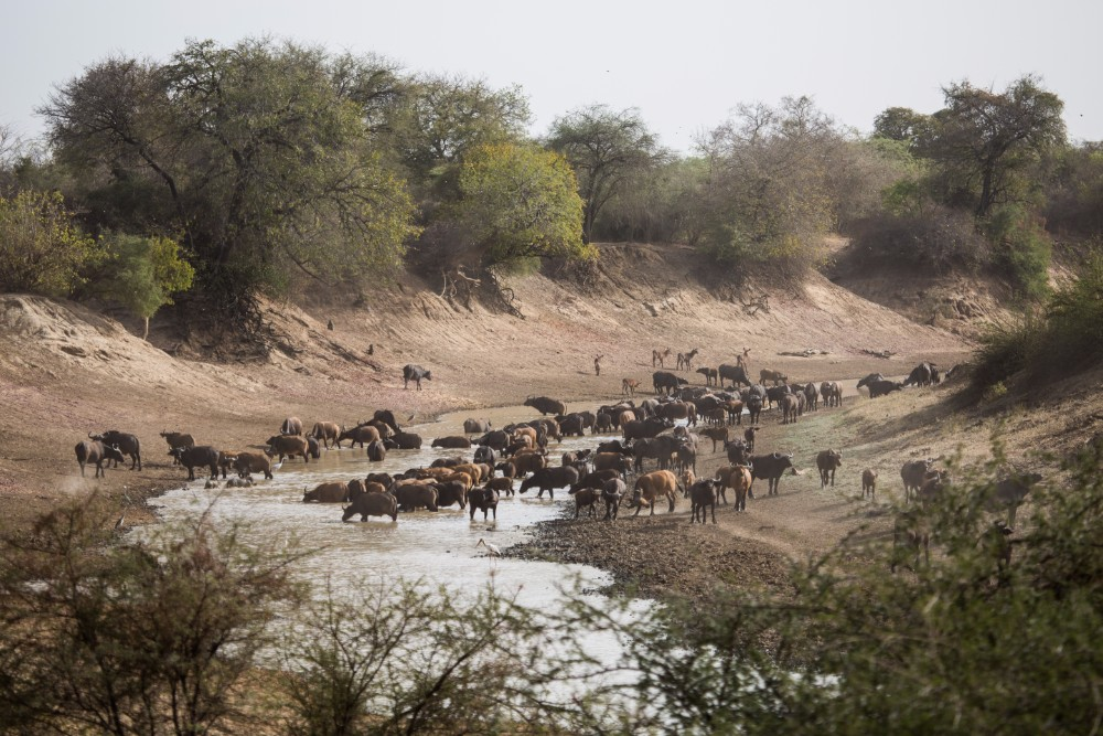 A herd of multicoloured Central African savannah buffalo on the Salamat river