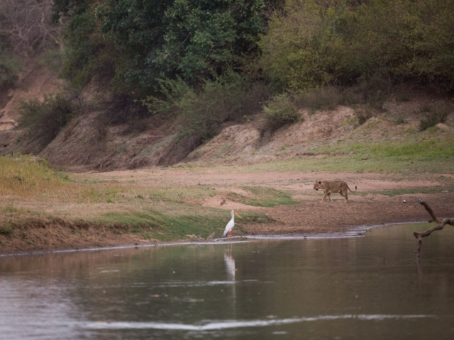 A lioness drifted past us as we sat observing a Northern caramine bee eater colony on the Salamat river