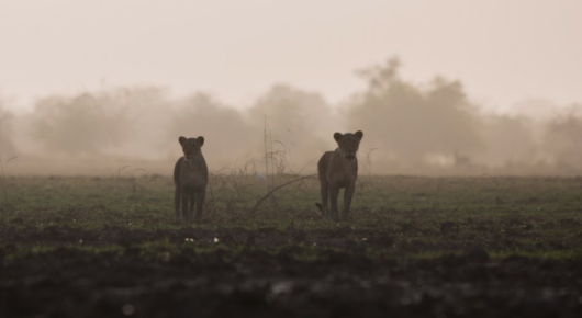 A pair of lionesses approached us carefully as we sat on the edge of Regueik pan