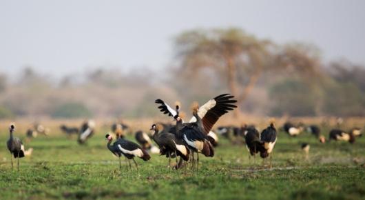 Black crowned cranes