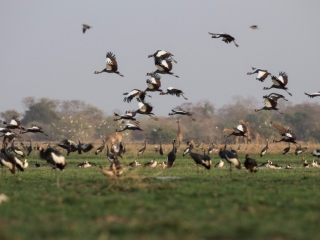 Black crowned cranes on landing