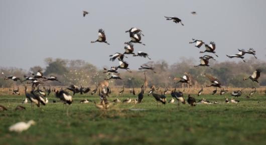 Black crowned cranes on landing