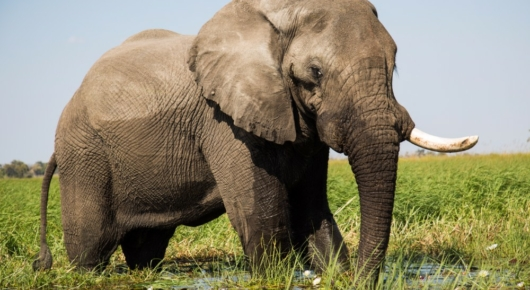 Elephant feeding on water lilies