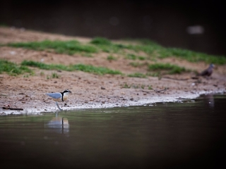 Finally! The elusive Egyptian plover