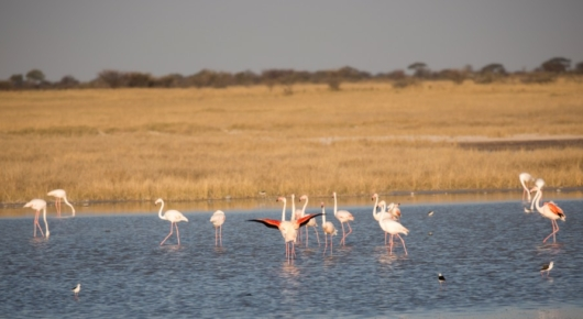 Flamingoes making the most of a wet season