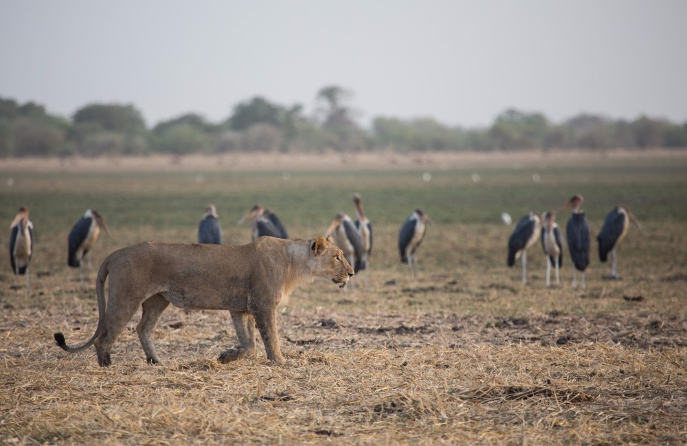 Marabou stalks on standby as a lioness hunts in front of Camp Nomade
