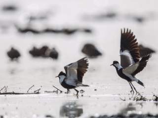 Spur-winged Lapwings
