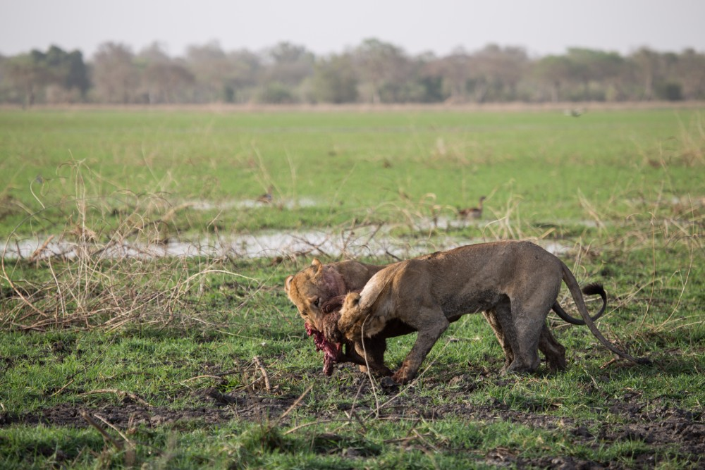 Sub-adult lions fight over their Lelwel's hartebeest kill