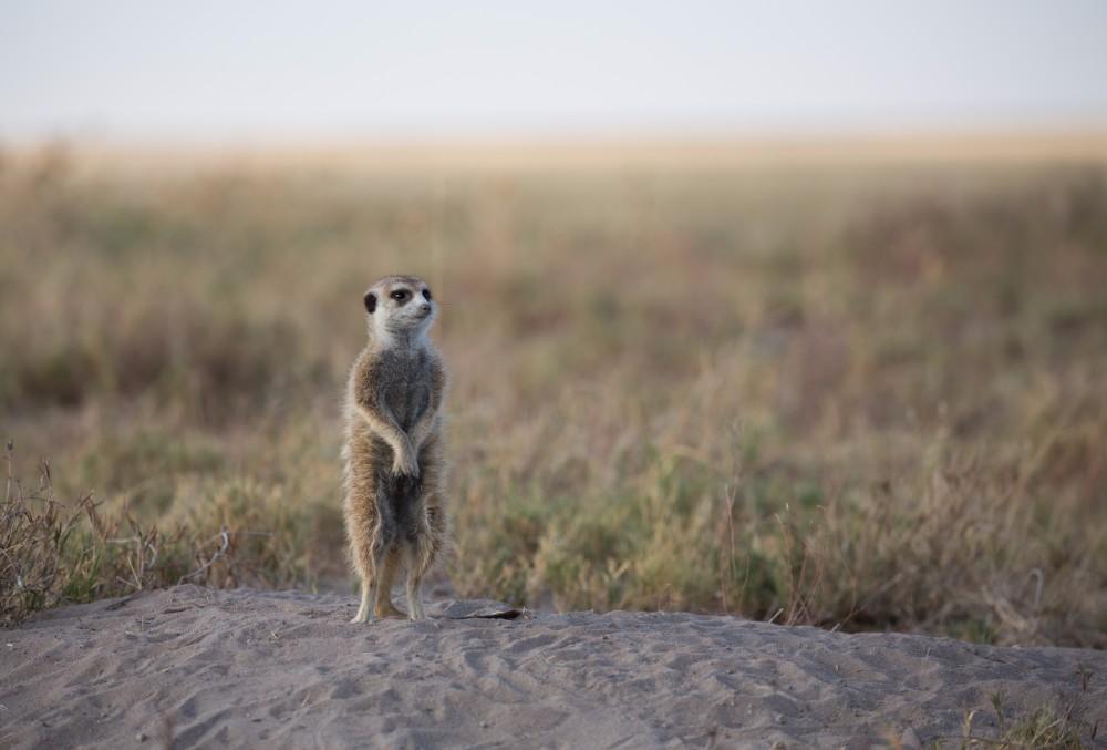 Walking with meerkats