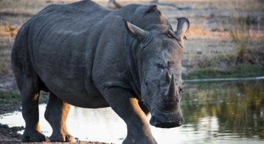 White Rhino Sabi Sands