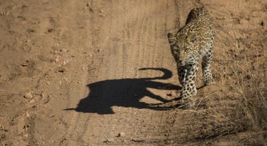 Leopard shadow