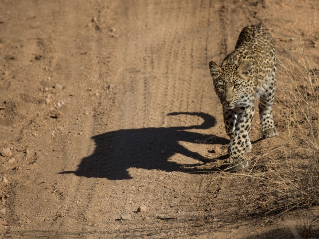 Leopard shadow