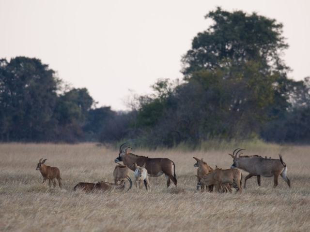 Roan on the plains of Zambia
