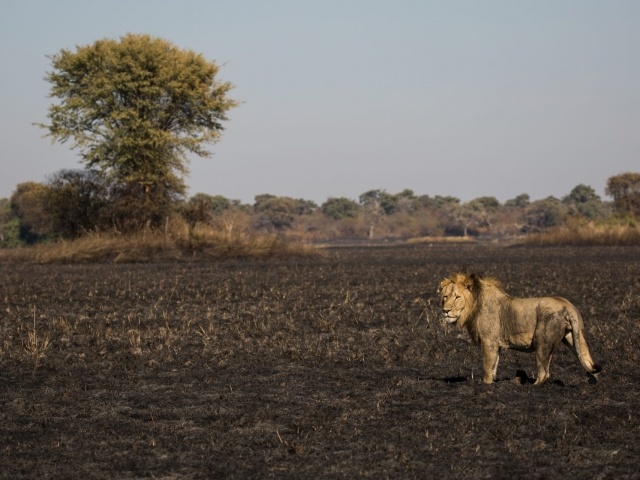 Lion on the burnt plains of Zambia