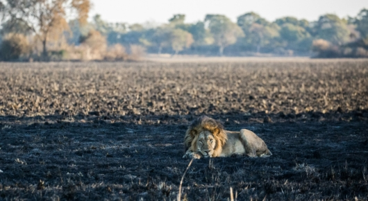 Lion on scorched earth