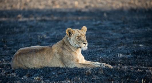 Lioness Zambia