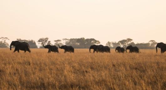 Busanga Elephant