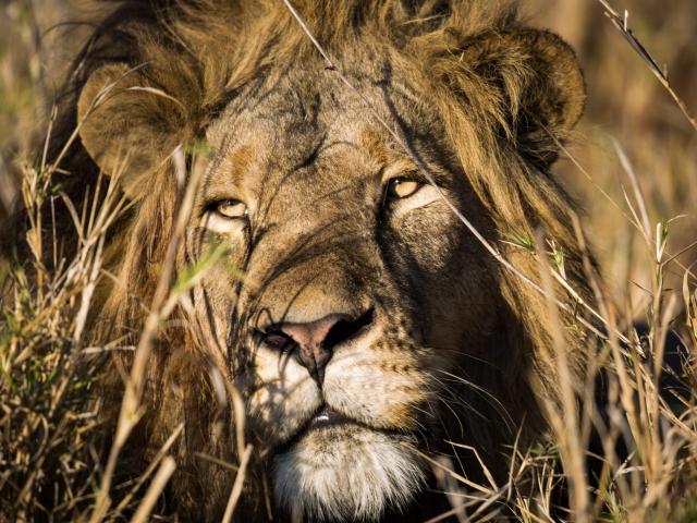 Lion in the grasslands