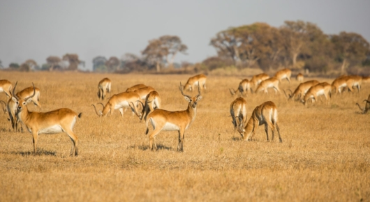 Lechwe in the grasslands