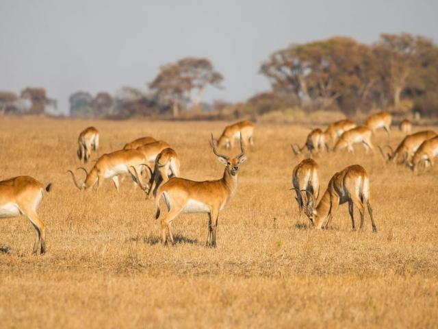Lechwe in the grasslands