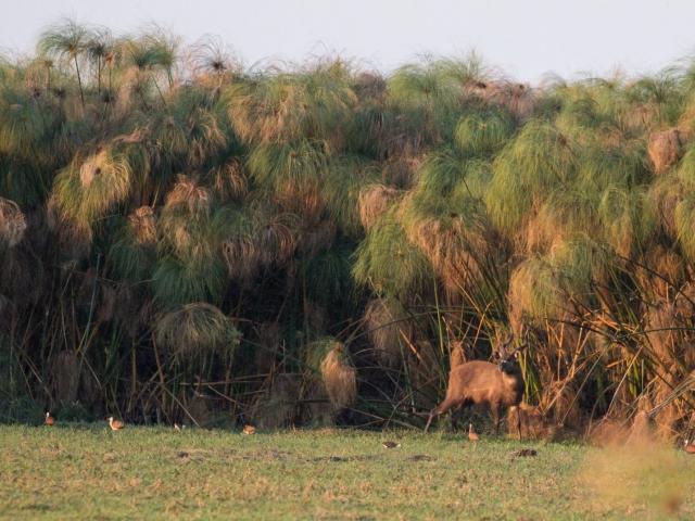 Sitatunga in the reeds