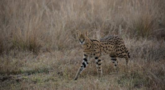 Serval in Zambia