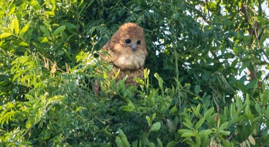 Pels Fishing Owl - Pafuri
