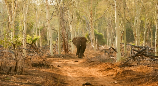 Elephant in Fever Tree Forest - Pafuri