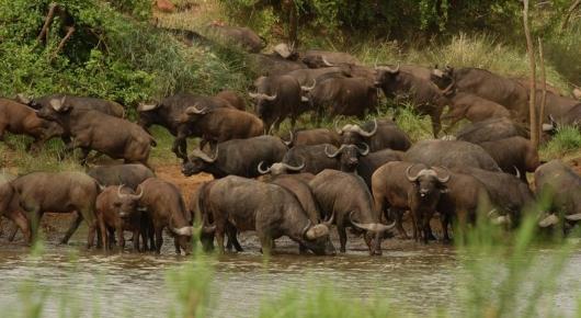 Buffalo herd - Pafuri